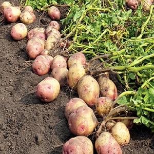 Среднеранний столовый сорт картофеля {amp}quot;Романо{amp}quot; от нидерландских селекционеров