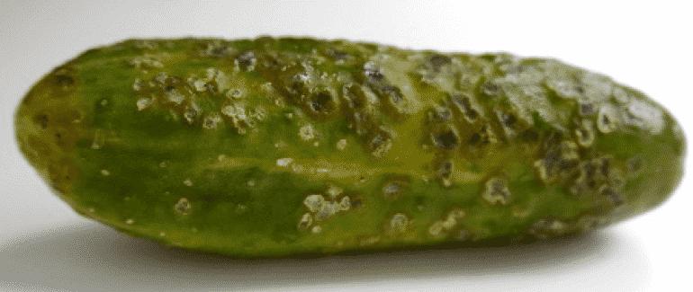 Почему не растут огурцы в теплице и как эффективно бороться с этой проблемой