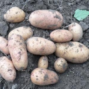 """Ранний столовый сорт картофеля """"Тирас"""" украинской селекции"""