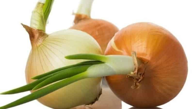 """Высокоурожайный сорт лука """"Шетана"""" для длительного хранения"""