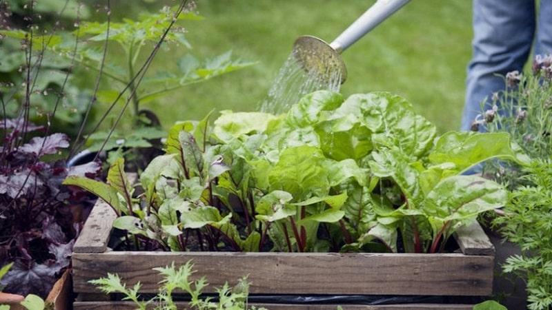 Правила и нюансы полива свеклы: пошаговое руководство для начинающих овощеводов