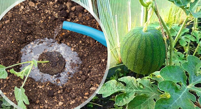 Как поливать арбузы в открытом грунте: частота и правила полива