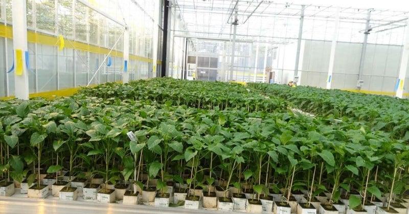 Когда и как сажать перец в теплице правильно: пошаговая инструкция для начинающих огородников
