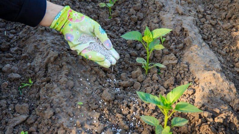 Чем подкормить перцы во время цветения и плодоношения в теплице для получения рекордного урожая