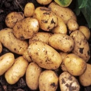 Популярный и стабильно урожайный сорт картофеля Импала от голландских селекционеров