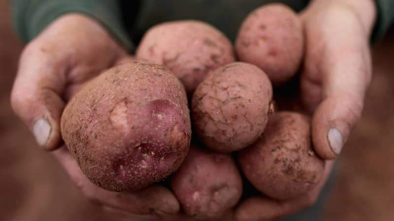 """Проверенный временем и обожаемый фермерами легендарный сорт картофеля """"Американка"""""""