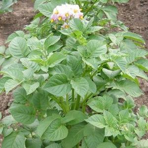 Засухоустойчивый и урожайный сорт картофеля Лабадия: описание и характеристика