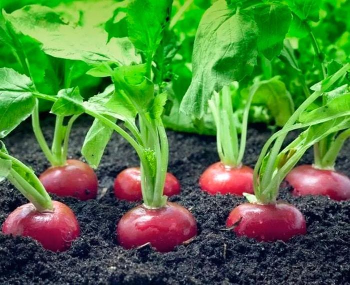 Как сажать редис в открытый грунт семенами