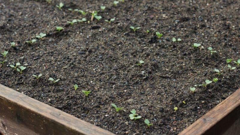Как сажать редис правильно: инструкция для начинающих огородников
