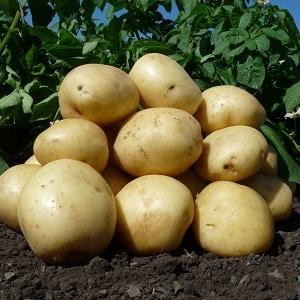 """Среднеспелый неприхотливый сорт картофеля """"Аризона"""": описание сорта, преимущества и недостатки"""