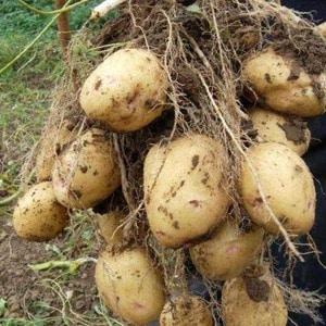 """Отечественный сорт картофеля """"Аврора"""" для получения богатого вкусного урожая"""