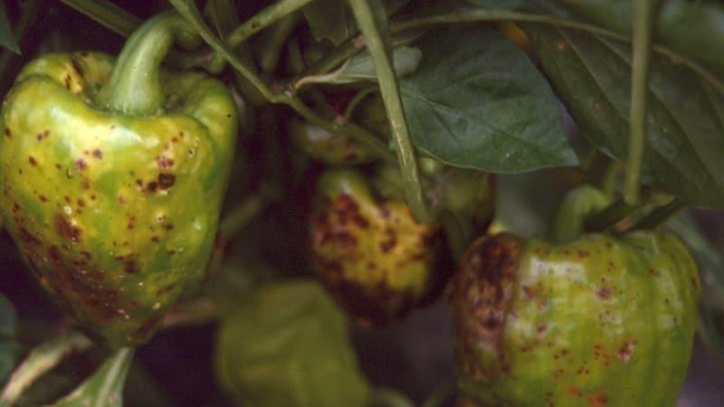 Какие существуют болезни перцев в теплице: фото и методы лечения