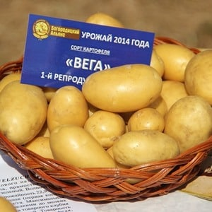 Раннеспелый столовый сорт картофеля Вега
