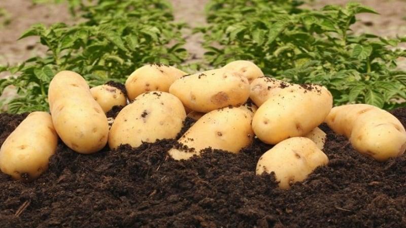 Неприхотливый к выращиванию и высоко урожайный сорт картофеля Эл Мундо