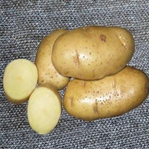 Любимый фермерами за простоту в уходе и урожайность сорт картофеля Ласунок
