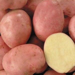 """Перспективный, неприхотливый и урожайный сорт картофеля """"Дезире"""" от голландских селекционеров"""