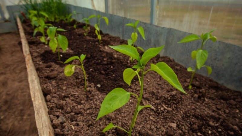 Удобрения для болгарского перца: чем подкормить в открытом грунте для роста и толщины