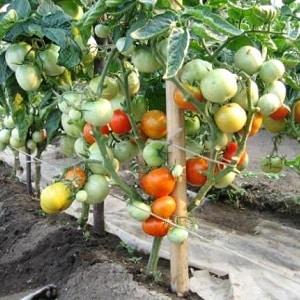 Чем полить помидоры, чтобы быстрее краснели: лучшие подкормки для томатов и лайфхаки для ускорения созревания