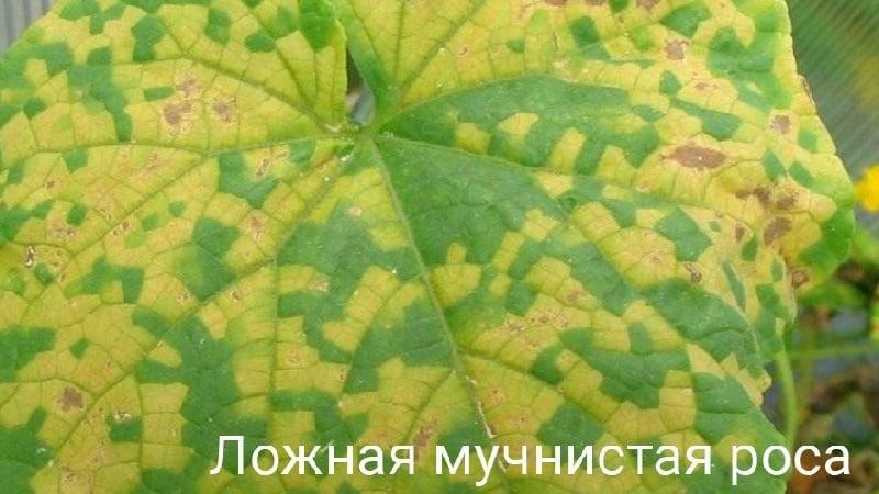 Что делать, если появились пятна на листьях огурцов?