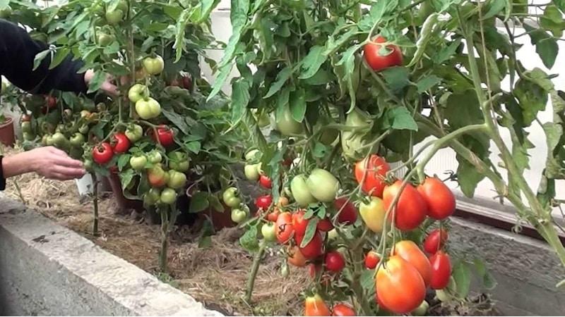 Что сделать, чтобы помидоры в теплице быстрее краснели: лучшие приемы и лайфхаки опытных дачников