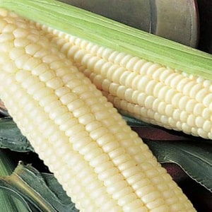 Что такое белая кукуруза, чем она отличается от обычной и как её есть