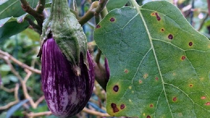 Что делать, чтобы не сохли листья у баклажана и почему они засыхают и трескаются