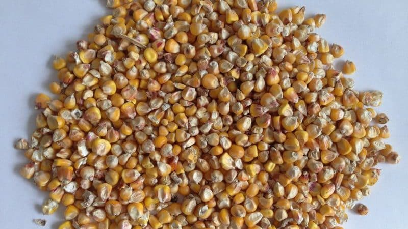 Что такое фуражная кукуруза, как её выращивают и куда применяют