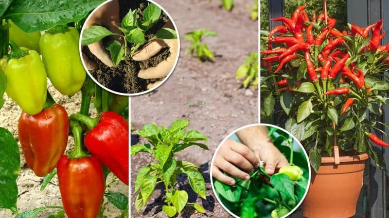 Где и как дозаривать перцы в домашних условиях: советы по хранению овощей и ускорению их поспевания