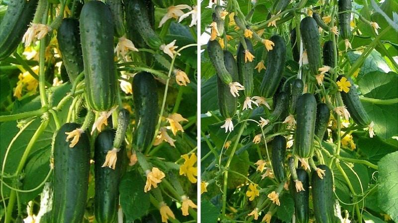 """Гибрид огурцов """"Пучковое великолепие F1"""": выращивание корнишонов в теплице, открытом грунте и на подоконнике"""