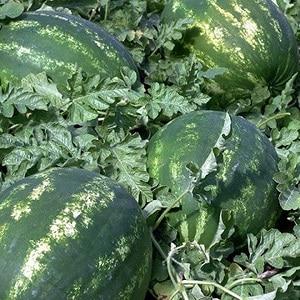 """Гибридный арбуз """"Каристан"""" с крупными и сладкими плодами"""