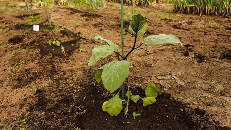 Как часто поливать баклажаны: инструкция для начинающих огородников