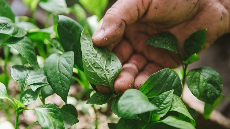 Как эффективно бороться с тлей на перце без вреда для урожая