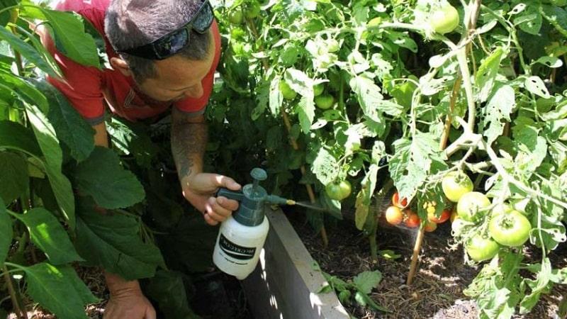 Как и чем обработать помидоры от фитофторы в открытом грунте: топ лучших средств и правила опрыскивания томатов
