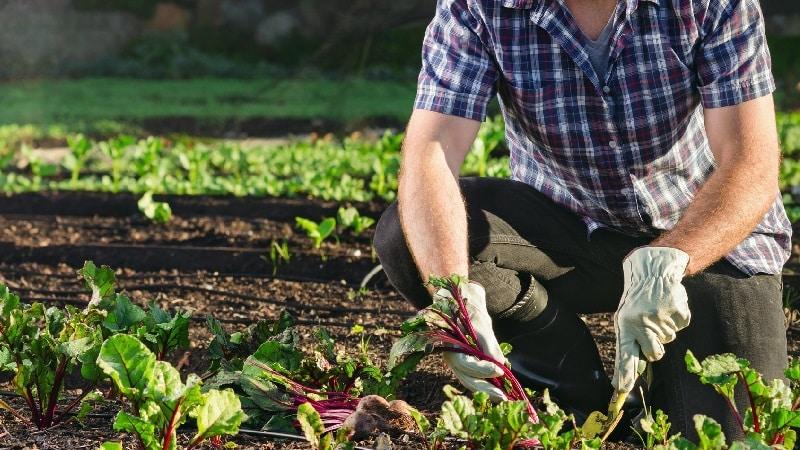 Как, когда и чем подкормить свеклу в июле-августе: секреты агротехники для получения богатого урожая