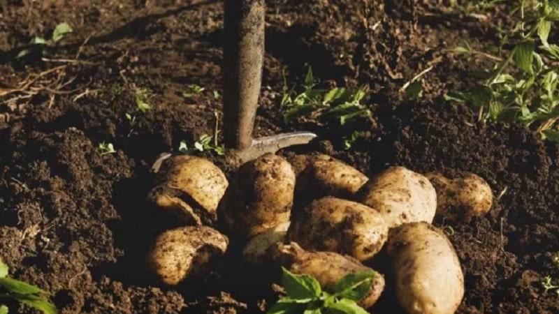 Как посадить и вырастить картошку на грядке