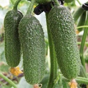 Как правильно выращивать голландский гибрид огурцов {amp}quot;Трилоджи f1{amp}quot;, чтобы добиться хорошего урожая