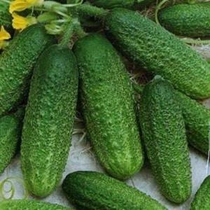 """Как правильно выращивать голландский гибрид огурцов """"Трилоджи f1"""", чтобы добиться хорошего урожая"""