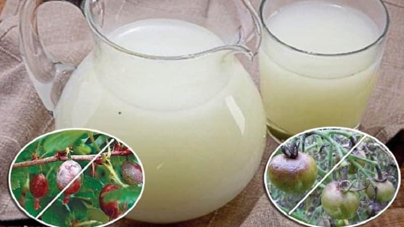 Как применять сыворотку от фитофторы на помидорах: боремся с заболеванием эффективно, быстро и бюджетно