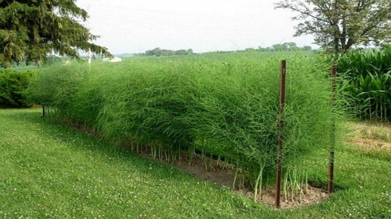 Как растет спаржа: выращивание и уход в открытом грунте для начинающих