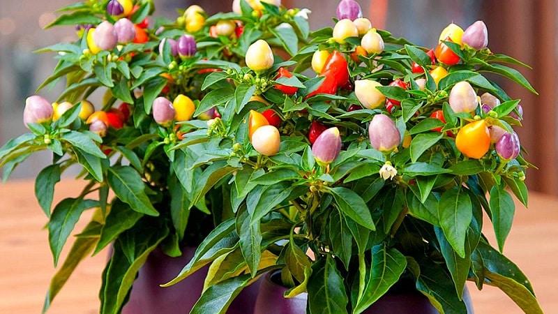 """Как выращивать и ухаживать за декоративным перцем """"Капсикум"""", и можно ли его есть?"""