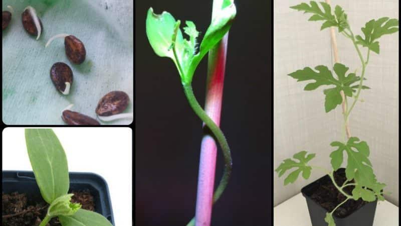 Как вырастить арбуз дома из косточки: пошаговая инструкция