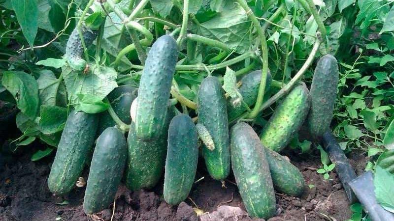 """Как вырастить на своем участке огурцы """"Эколь"""" и получить отличный урожай для универсального применения"""