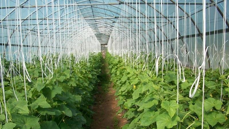 Бизнес-план по выращиванию огурцов в теплице