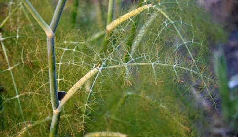 Какие бывают вредители укропа: фото и борьба с ними, заболевания и меры профилактики для защиты урожая