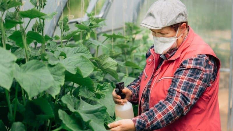 Какие подкормки можно применять для огурцов в теплице во время плодоношения