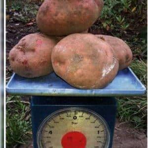 """Неприхотливый среднеспелый сорт картофеля """"Ирбитский"""" от отечественных селекционеров"""