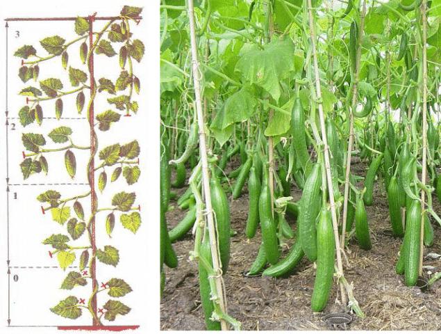В чем уникальность китайского огурца и как получить достойный урожай?