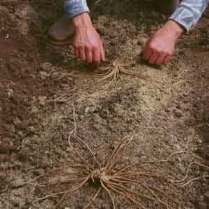 Когда и как правильно производить пересадку спаржи осенью