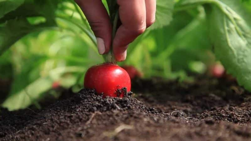 Когда лучше сажать редис под зиму и можно ли вырастить хороший урожай
