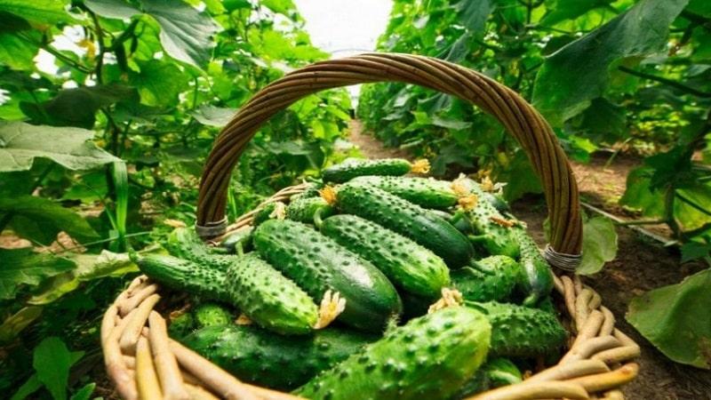 Когда лучше собирать огурцы, утром или вечером и от чего зависят особенности уборки урожая